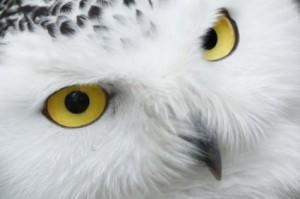 snowy_owl_eyes_193805